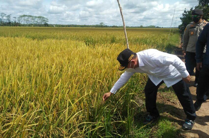 Sugianto Sabran Tinjau Langsung Pertanian di Kawasan Food Estate